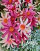 14 virágfejből álló csokor / Antikrózsaszín magentával