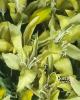 Liliomszál - 2 virágfejes/Pasztellzöld