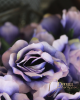 Rózsa szárral / Indigó