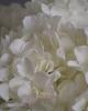 Szálas hortenzia / fehér